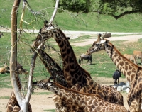 SD Zoo Safari - Giraffes