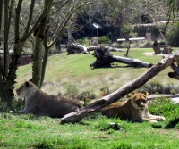 SD Zoo Safari - Lions