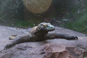 Disney World - Animal Kingdom - Asia - Komodo - Dragon - Wikipedia by Loadmaster