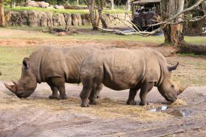 Disney World - Epcot - Animal Kingdom - Safari - Wikipedia by Loadmaster
