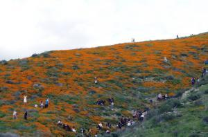 Walker Canyon Poppy Flower Super Bloom - Hills