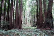San Francisco - Muir Woods