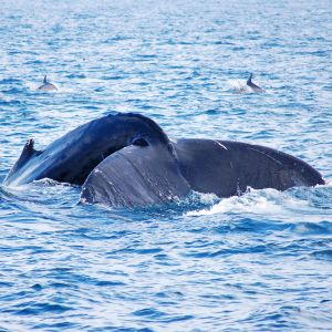 Whale and Dolphin Watching - Blue Whale