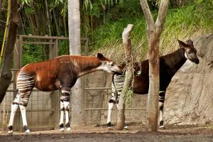Okapi - Flickr - by - Don DeBold
