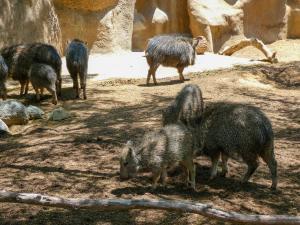 San Diego Zoo - Pygmy Hippos