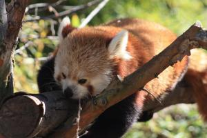 Red Panda - Flickr - by ray_explores